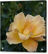 Large Yellow Rose II Acrylic Print