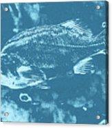 Largemouth Bass 8 Acrylic Print