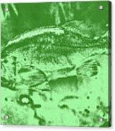 Largemouth Bass 9 Acrylic Print