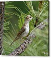 Lark Sparrow Acrylic Print
