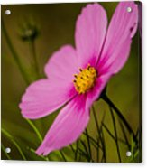 Last Flower Acrylic Print