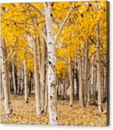 Last Of The Aspen Leaves Acrylic Print