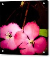 Last Of The Pink Dianthus Flowers Acrylic Print
