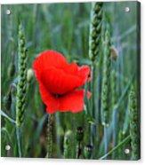 Last Poppy Acrylic Print