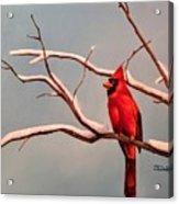 Last Snow Of Winter, Cardinal Acrylic Print