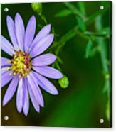 Late Purple Aster Acrylic Print