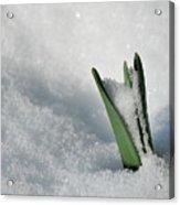 Late snow Acrylic Print