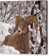 Late Winter Big Horns Acrylic Print