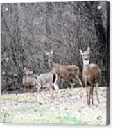 Late Winter Whitetails Acrylic Print