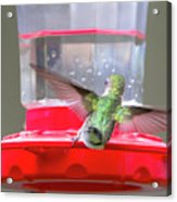 Later Hummingbird Acrylic Print