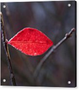 Lateral Red Leaf Acrylic Print