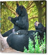 Laughing Bears Acrylic Print