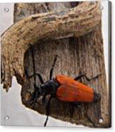Laughing Beetle Acrylic Print