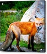 Laughing Fox Acrylic Print