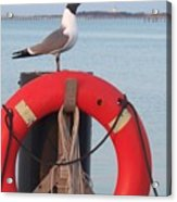 Laughing Gull At Lewes Acrylic Print