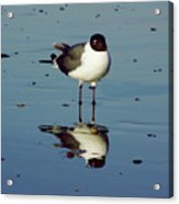 Laughing Gull Acrylic Print