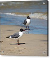 Laughing Gulls On The Beach Acrylic Print