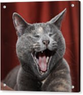 Laughing Kitty Acrylic Print