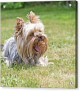 Laughing Yorkshire Terrier Acrylic Print
