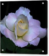 Laurie's Rose Acrylic Print