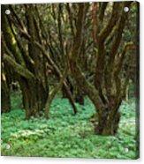 Laurisilva 1 Acrylic Print
