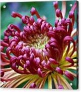 Lava Chrysanthemum Acrylic Print