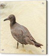 Lava Gull, Leucophaeus Fuliginosus,santa Cruz Island In Galapag Acrylic Print