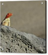 Lava Lizard On Lava Rock Acrylic Print