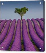 Lavander Field Luberon Acrylic Print