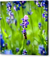 Lavander Flowers With Bee In Lavender Field Macro Artmif Acrylic Print