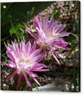 Lavendar Cactus Flowers Acrylic Print
