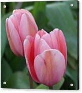 Lavendar  Pink Tulip Acrylic Print