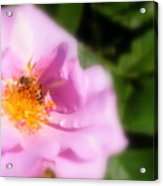 Lavendar Rose With Bee Acrylic Print