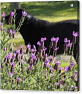 Lavender And Black Lab Acrylic Print