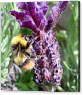 Lavender And Busy Bee. Acrylic Print