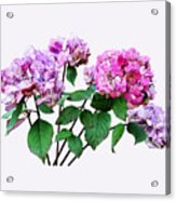 Lavender And Rose Hydrangeas Acrylic Print