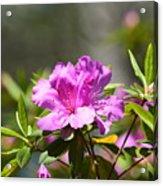 Lavender Rhododendrun Acrylic Print