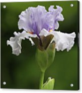 Lavender Bearded Iris #2 Acrylic Print