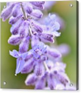 Lavender Blooms Acrylic Print