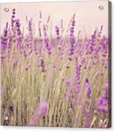 Lavender Blossom Acrylic Print