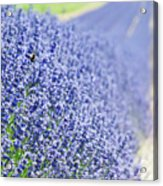 Lavender Blossoms Acrylic Print