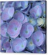 Lavender Blue Hydrangea Acrylic Print