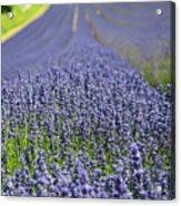 Lavender Dreams Acrylic Print
