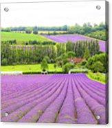 Lavender Farms In Sevenoaks Acrylic Print