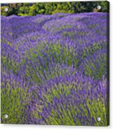 Lavender Field Acrylic Print by Garry Gay