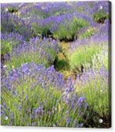 Lavender Field, Tihany, Hungary Acrylic Print