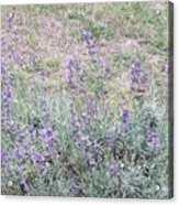 Lavender Fields Forever Acrylic Print