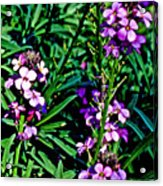 Verbena At Pilgrim Place In Claremont-california   Acrylic Print