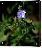 Lavender Hue Acrylic Print