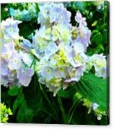 Lavender Hydrangea In Garden Acrylic Print
